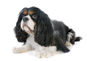 A black and white Cavalier King Charles Spaniel with a lovely, soft coat