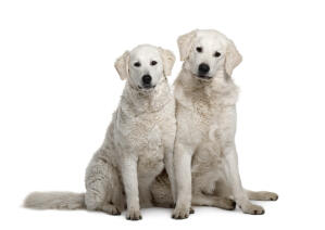Two young Kuvasz's awaiting some deserved attention from their owner