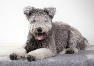 A Hungarian  Pumi with a grey fluffy coat