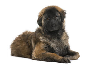 A young Leonberger with a scruffy coat, lying beautifully on the floor