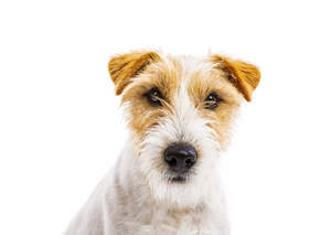 A close up of a Parson Russell Terrier's beautiful, little, wiry ears