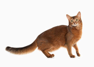 Somali cats are athletic and intelligent