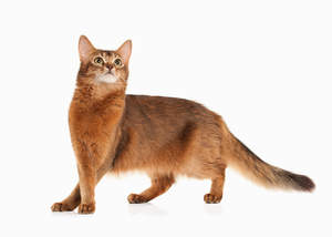 Somali cats were first bron in the 1940s