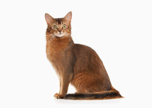 The Somali cat is longhaired Abyssinian