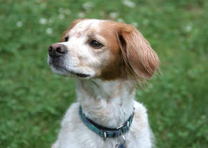 A close up of a Brittany's lovely short head and soft, light coat