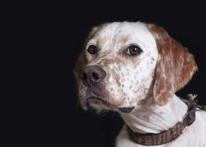 A close up of an English Setter's beautiful, soft, white and brown coat