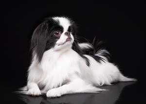 A Japanese Chin lying down, showing off it's lovely long ears and short nose