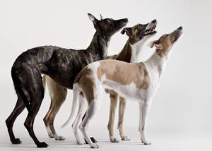Three beautiful, little Whippets, looking up at their owner for some attention