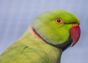 A close up of a Rose Ringed Parakeet beautiful, little eyes