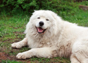 A big shaggy Maremma Sheepdog lying down