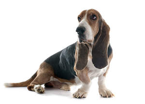 A lovely adult Basset Hound waiting for some attention