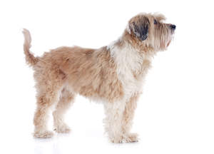 A brown and white Tibetan Terrier with an incredibly soft coat