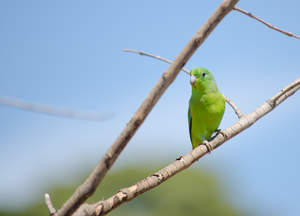 A Blue Winged Parrotlet's wonderful yellow and green chest feathers