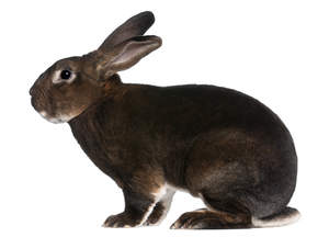 A Castor Rex rabbit's wonderful dark fur