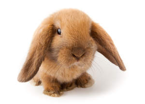A Mini Lop rabbit with red fur and beautiful dark eyes