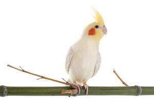 A wonderful Cockatiel perching on a branch