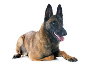 A mature adult Belgian Malinois