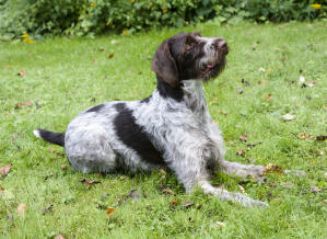 A lovely German Wirehaired Pointer, waiting for a command