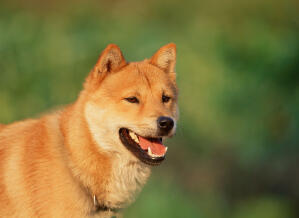 A close up of a Korean Jindo's incredible thick brown coat and pointed ears