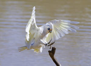 A beautiful, white Little Corella's powerful feet