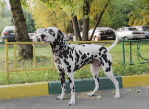 A healthy, adult Dalmatian showing off it's it's incredible, muscular body