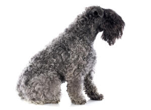 A side on of the curly coated Kerry Blue Terrier with a beautiful black beard and fringe