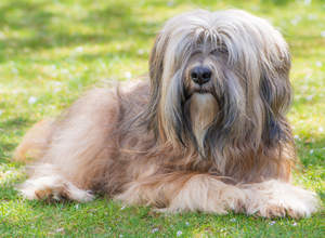A Tibetan Terrier with a wonderful fringe and scruffy beard lying on the grass
