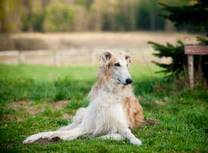 A beautiful Borzoi's typical lying down position