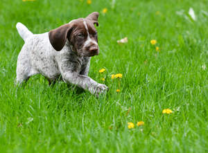 A gorgous German short haired pointer puppy in the grass