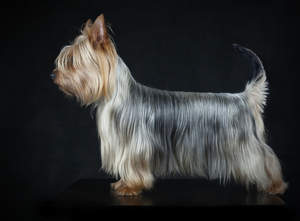 A Silky Terrier with a wonderful, long, soft coat