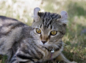 Highlander Cats Have Distinctive curled ears