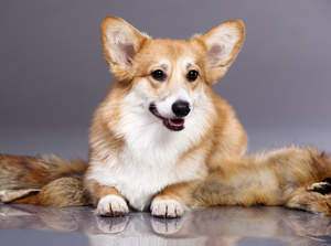 A Cardigan Welsh Corgi's lovely, thick, light brown and white coat
