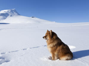 A beautiful Finnish Lapphund with a thick soft coat sitting in the snow