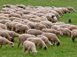 A healthy Polish Lowland Sheepdog herding sheep