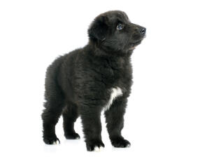 A fluffy Belgian Shepherd Dog (Groenendael) puppy