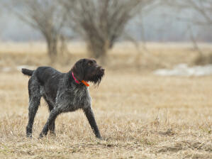 A dark coated German Wirehaired Pointer enjoying some exercise