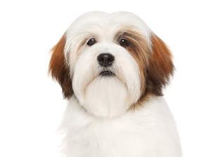 An adult white and red Lhasa Apso with a beatifully brushed soft coat