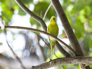 A wonderful Budgerigar perched in a tree