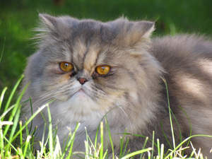 A lovely diluted Calico Persian lying in the grass