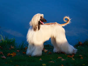 A glamourous afghan hound looking back for a command