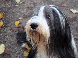 A close up of a Bearded Collie's healthy, long coat