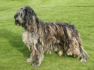 A bergamasco showing off his lovely coat