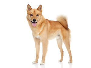 A young adult Finnish Spitz with it's characteristic bushy tail
