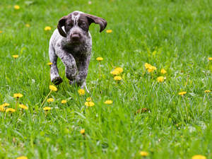 A German short haired pointer puppy bounding along