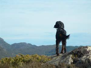 A Gordon Setter standing tall, showing off it's beautiful, black and brown coat