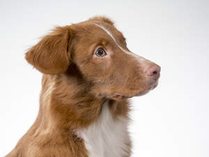 The loyal Nova Scotia Duck tolling retriever looking very handsome