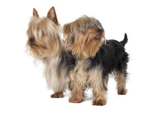 Two beautiful little Silky Terriers enjoying each other company