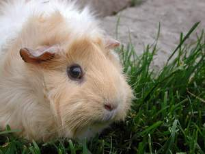 An Abyssinian Guinea Pig's wonderful little ears
