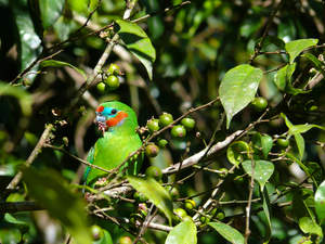 A beautiful Double Eyed Fig Parrot, feeding in a tree
