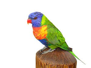 A Rainbow Lorikeet's beautiful pattern of coloured feathers